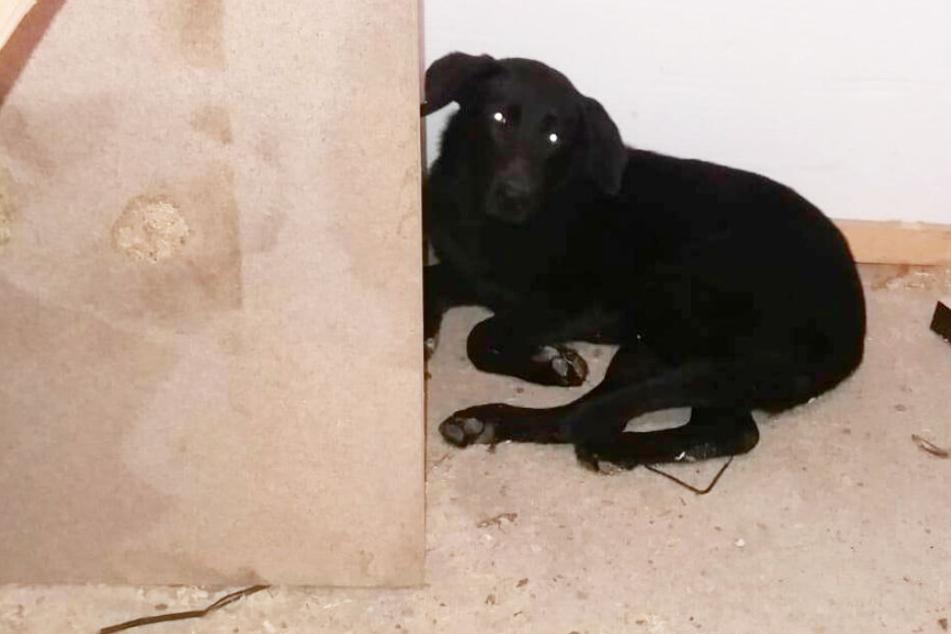Der schöne schwarze Hund sitzt verstört in einer Ecke des Tierheims. Ob das Tier verletzt ist, wird der Tierarzt untersuchen.