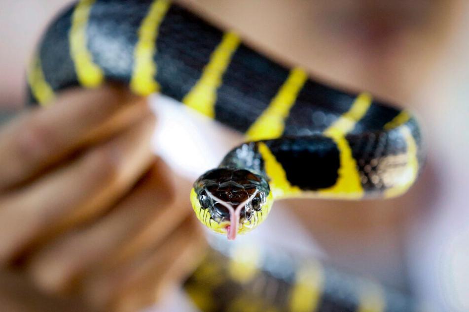 Der erste Entwurf für das nordrhein-westfälische Gefahrtiergesetz sieht eine Freiheitsstrafe bis zu zwei Jahren oder eine Geldstrafe vor, falls man ein giftiges Tier kauft, hält oder aussetzt.