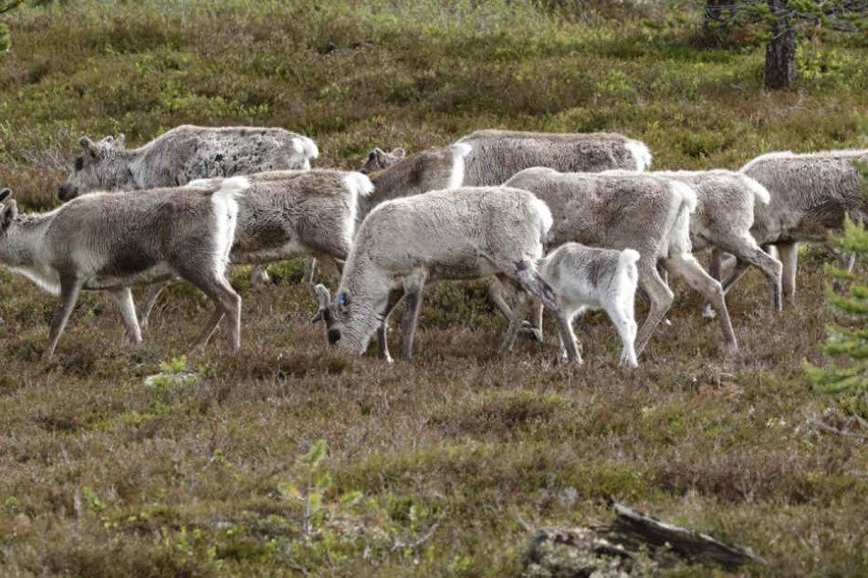 Eine Rentierherde wurde in Norwegen von mehreren Blitzen getroffen.
