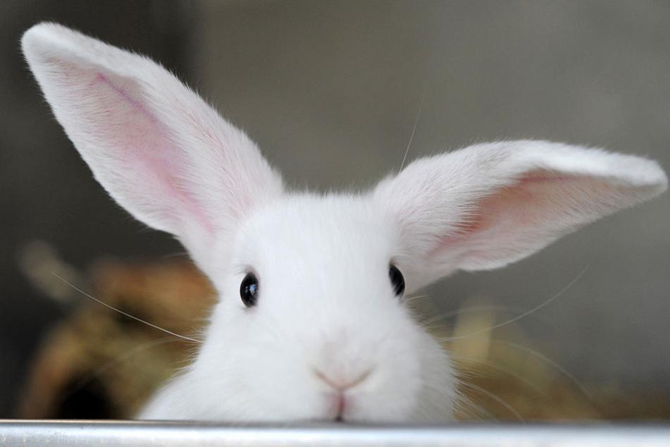 Kaninchen in Gefahr: Eine gefährliche Virusinfektion wütet in Sachsen.