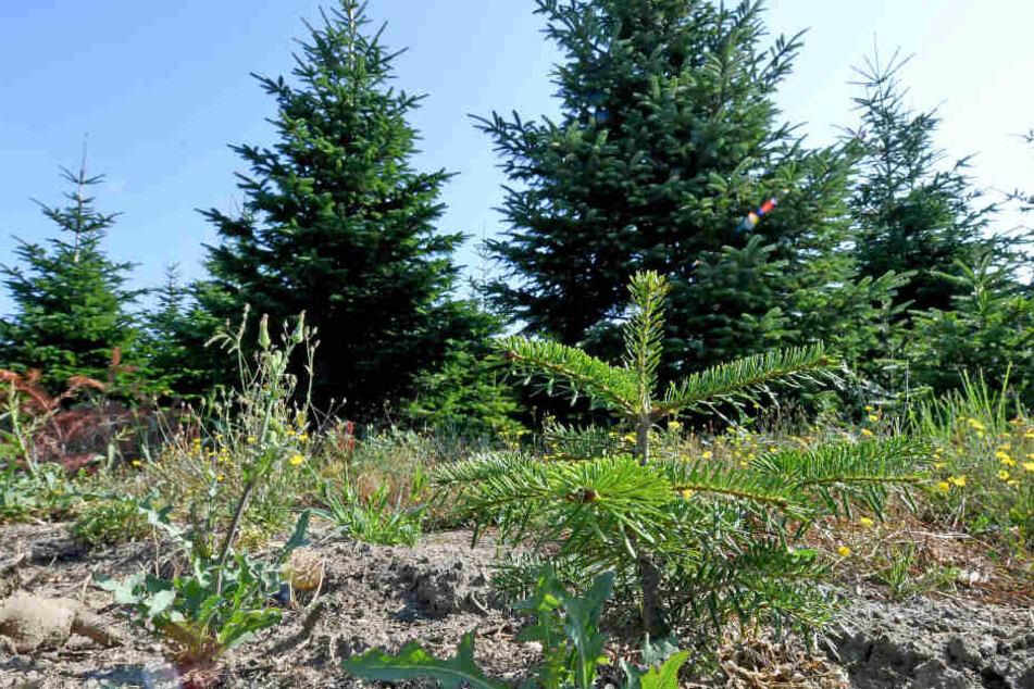 Die Trockenheit setzt den Tannenbäumen auf den Plantagen äußerst zu.