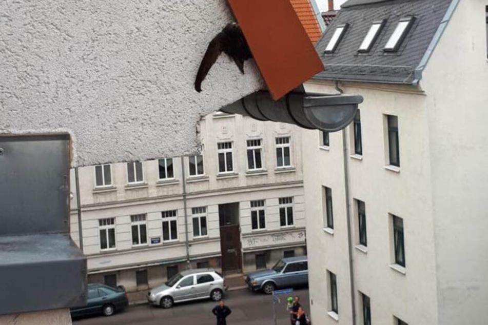 So klemmte der Mauersegler fest.