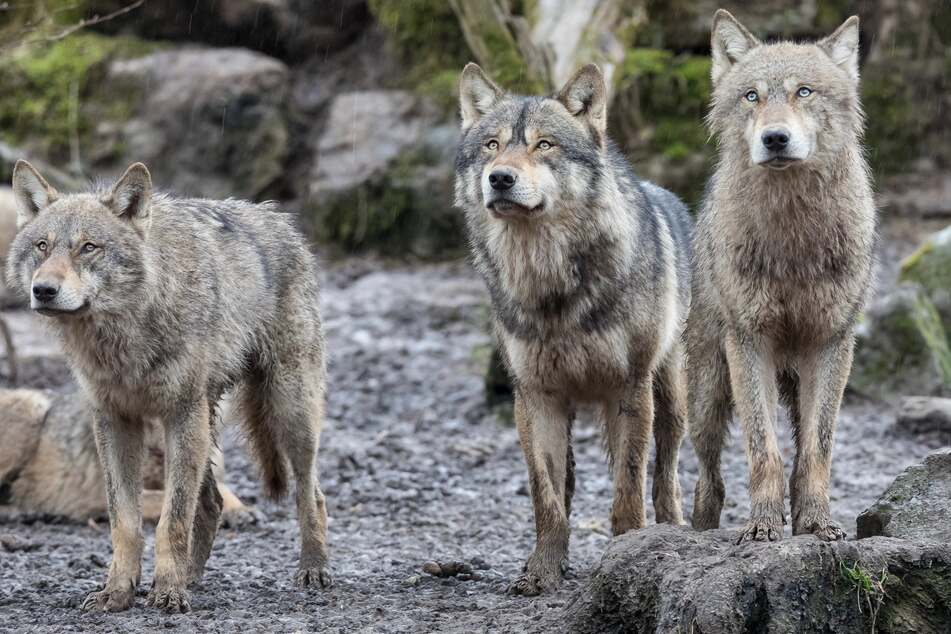 Three wolves had to die in Copenhagen because they took up too much space (stock image).