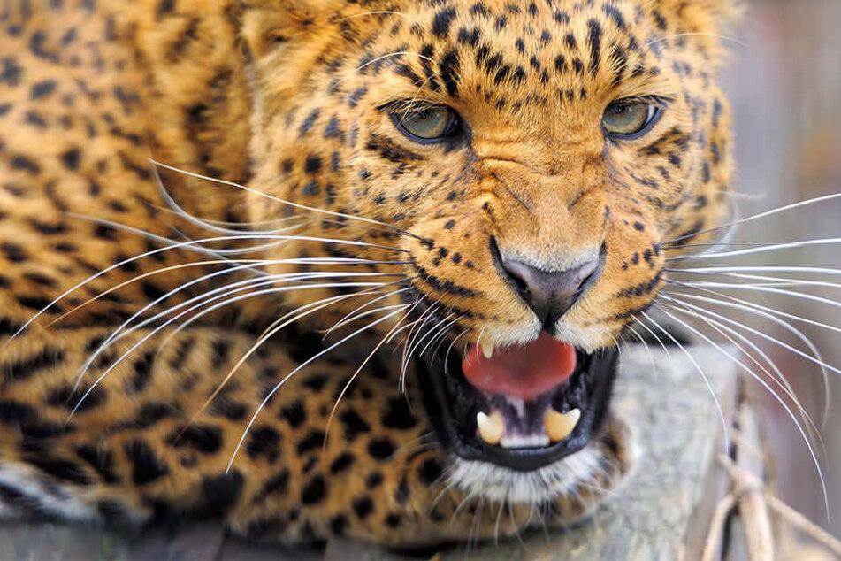 Ein Leopard hat in Indien offenbar schon zum dritten Mal ein Kind getötet. (Symbolbild)