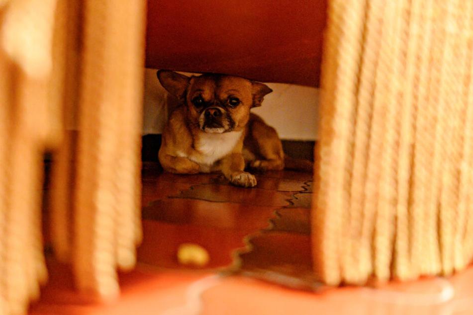 Die Böllerei rund um Silvester lässt viele Hunde panisch unterm Sofa verschwinden. (Symbolbild)
