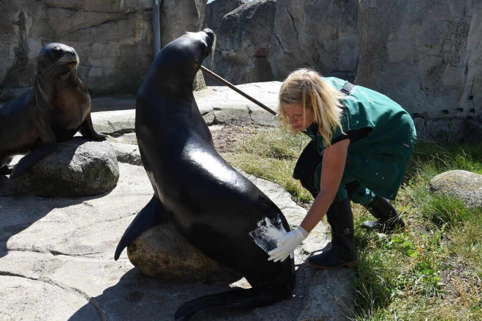 """Natalie Franken, Tierpflegerin im """"Zoo am Meer"""", cremt die Seelöwin mit Zinksalbe ein."""