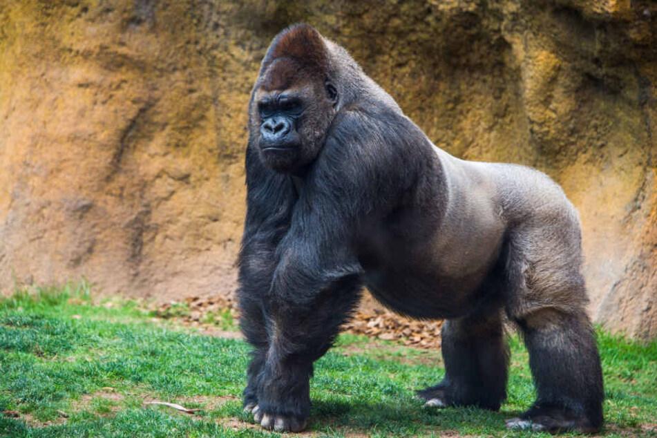 Man vermutet,, dass es die Knochen eines großen Gorillas sind.