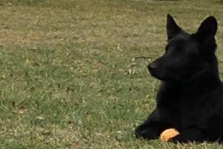 Dramatischer Todeskampf! Hund verschluckt beim Spielen Ball, ein Fremder wird zum Helden des Tages