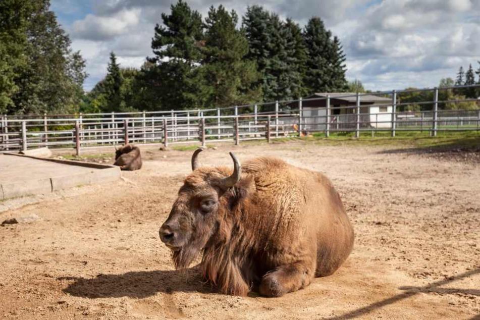 Auch im Tierpark Hirschfeld läufts rund. Das hat man sicher auch den Wisents zu verdanken.