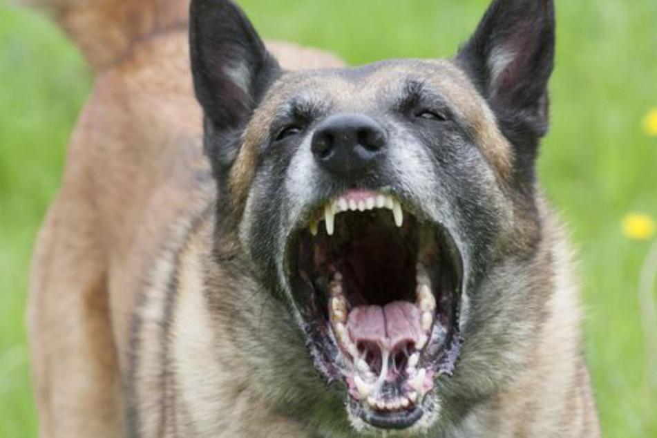 Ein Schäferhund verbiss sich in einen Chihuahua und greift auch sein Frauchen an. (Symbolbild)