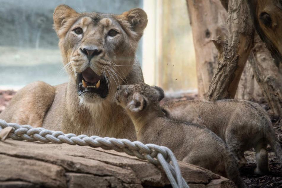 """Löwen-Mutter """"Zarina"""" klagte lautstark über das Verschwinden ihrer Babys."""