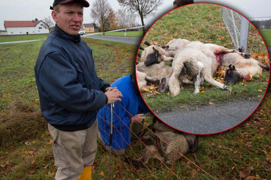 Wolf-Angriff in Sachsen: Sieben Schafe sind tot