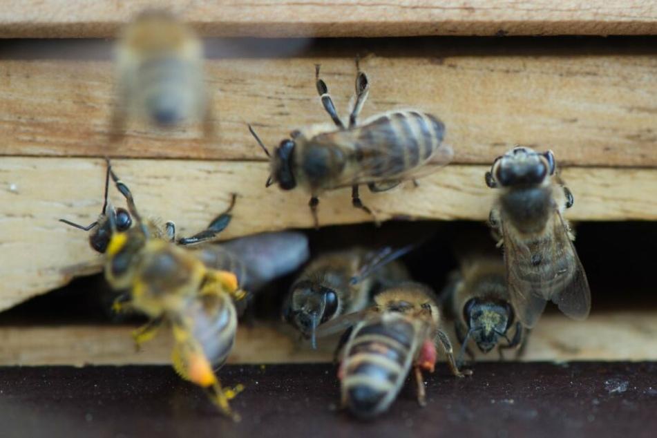 Die Seuche kann bei Bienenvölkern erheblichen Schaden anrichten - für den Menschen ist sie jedoch ungefährlich. (Symbolbild)