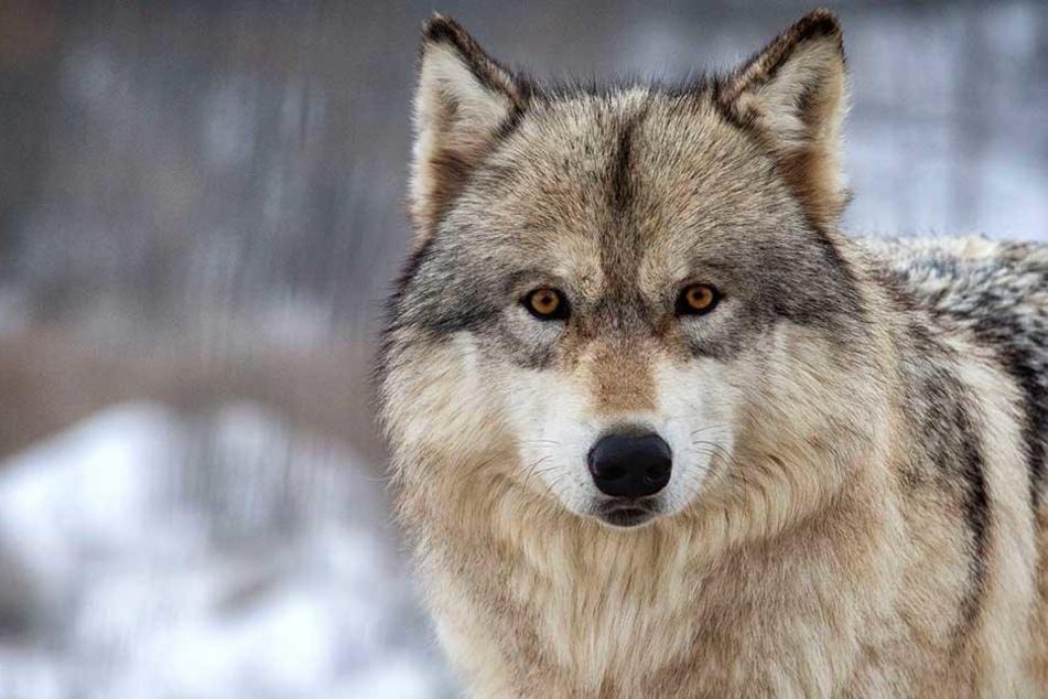 In Sachsen wurde eine Wölfin illegal geschossen und dann in einem See entsorgt. Vom Täter fehlt bisher jede Spur. (Symbolbild)