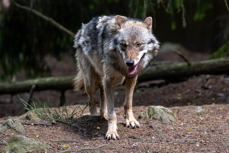 Wölfe sollen auch gezielt abgeschossen werden dürfen, wenn es nach den Freien Wählern geht. (Symbolbild)