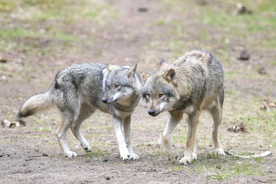 Siedeln sich im westlichen Erzgebirge Wölfe bald dauerhaft an? Experten rechnen damit (Symbolbild).