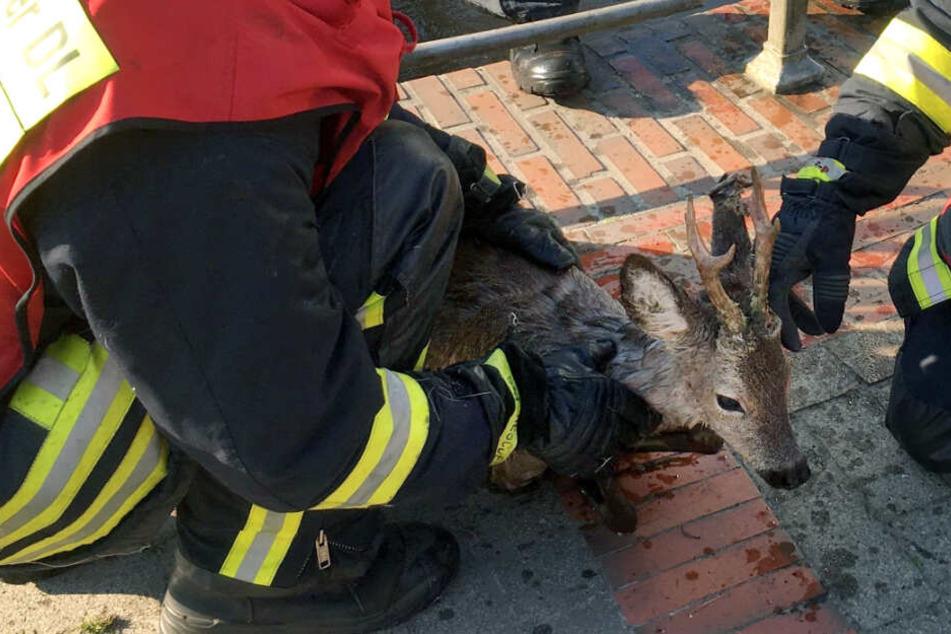 Feuerwehr rettet verirrten Rehbock aus Hafenbecken