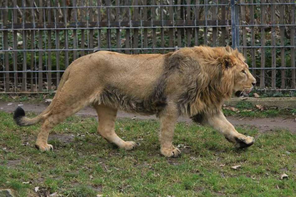 Der neue Löwe soll dem Kölner Zoo Nachwuchs bringen.