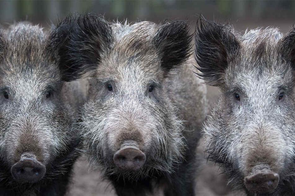 Seit Monaten stehen Wildschweine unter Beschuss.