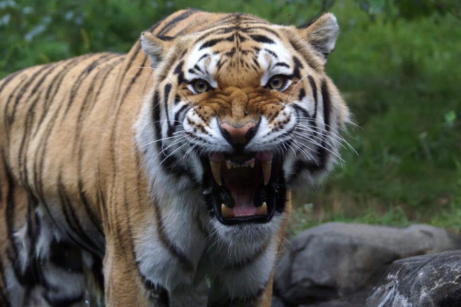 Auf der indonesischen Insel Sumatra hat ein Tiger einen 50-jährigen Mann angegriffen und getötet. (Symbolbild)