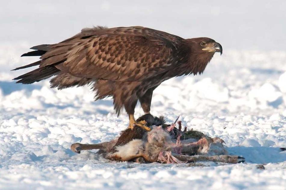 Seeadler fressen auch Aas. Dieses Prachtexemplar konnte der Fotograf beim Fressen eines Rehes ablichten.