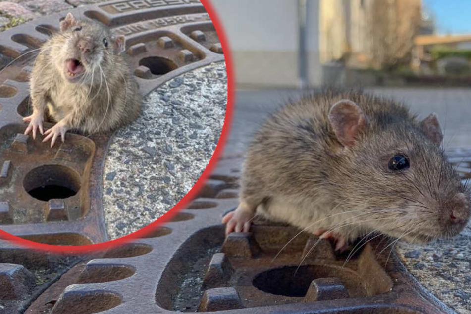 Zu viel Winterspeck: Das Ratten-Männchen konnte sich nicht mehr selbstständig aus seiner prekären Lage befreien.