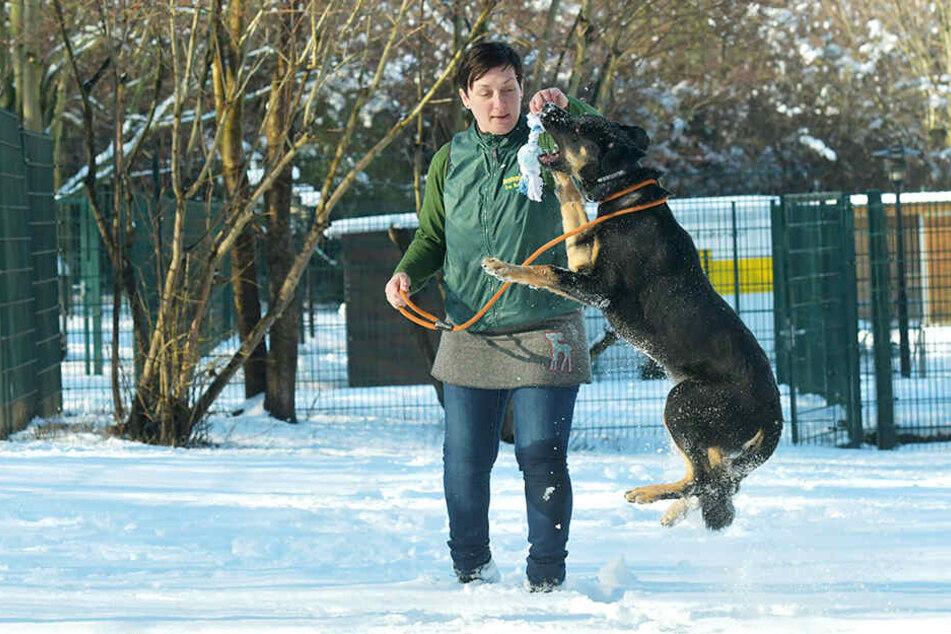 """Er darf vermittelt werden: Rottweiler-Schäferhund-Mix """"Sammy"""" (fünf Monate) spielt mit Tierpflegerin Peggy Haupt (46)."""