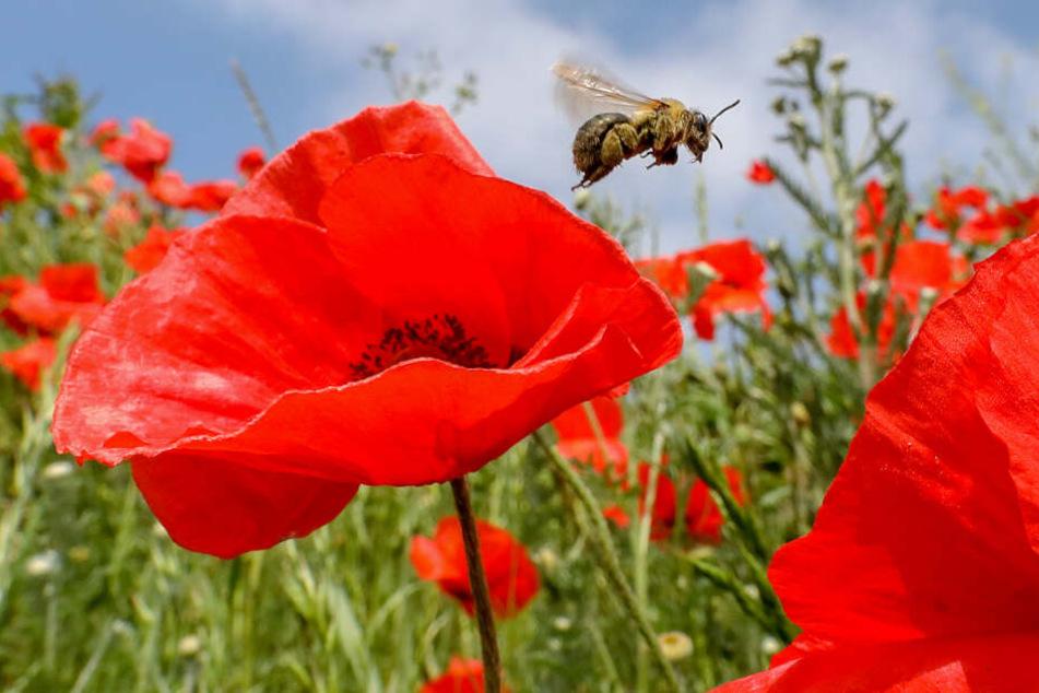 Eine Biene fliegt an einer Mohnblume vorbei.