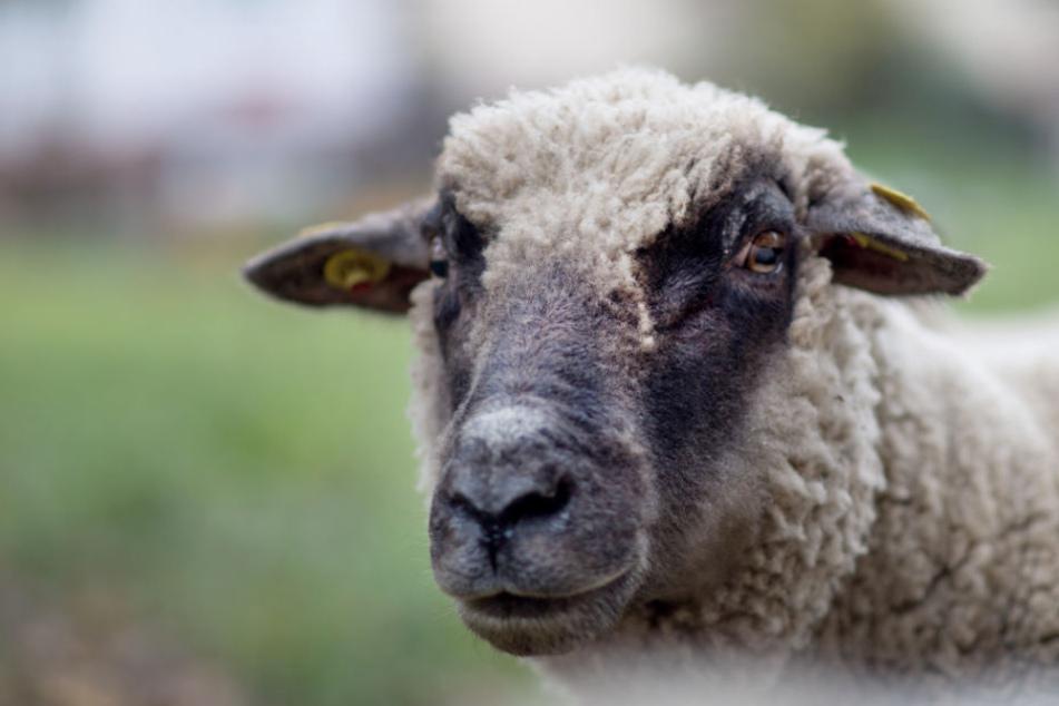 Die Schafe lagen tot auf einer Wiese. (Symbolbild)