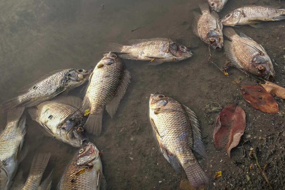 Fatale Folgen der Buschbrände in Australien: Massenhaftes Fischsterben in Down Under!