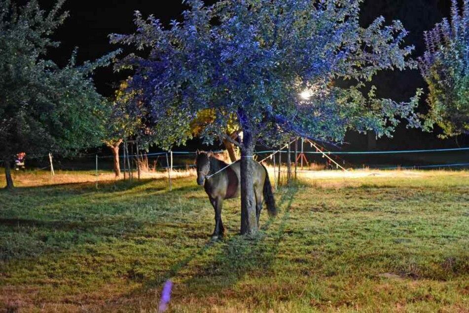 Eines des Pferde, die den Brand überlebten.