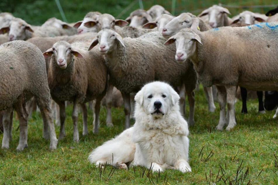 Tiere, wie dieser Herdenschutzhund sind ausgelastet, weil sie eine Aufgaben haben.