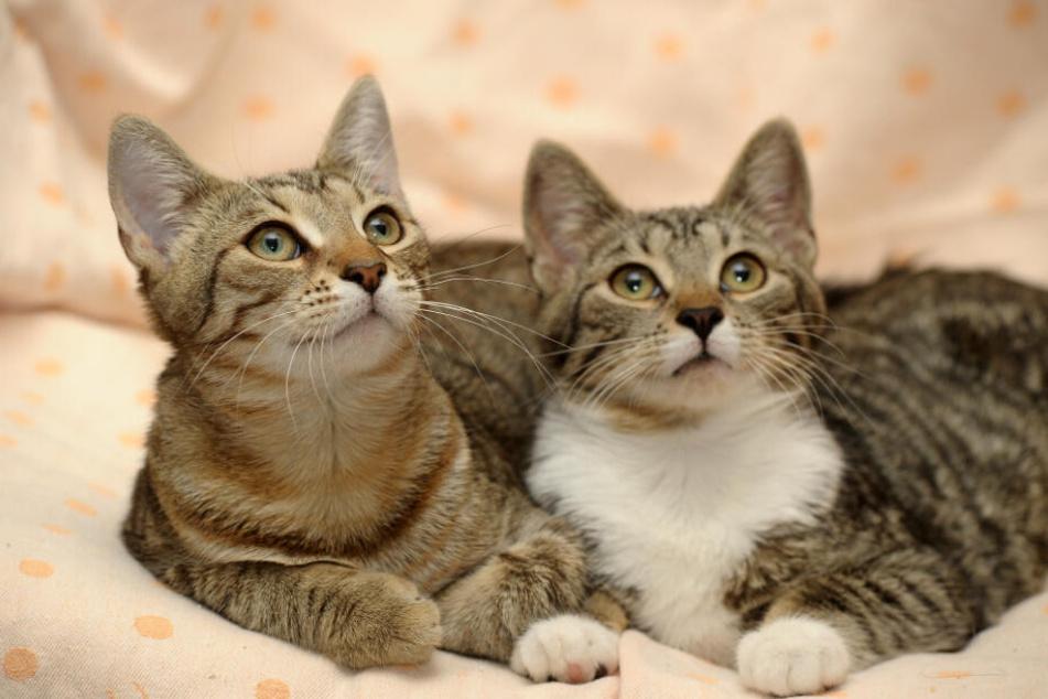Zwei Katzen liegen auf einer Decke. (Symbolbild)