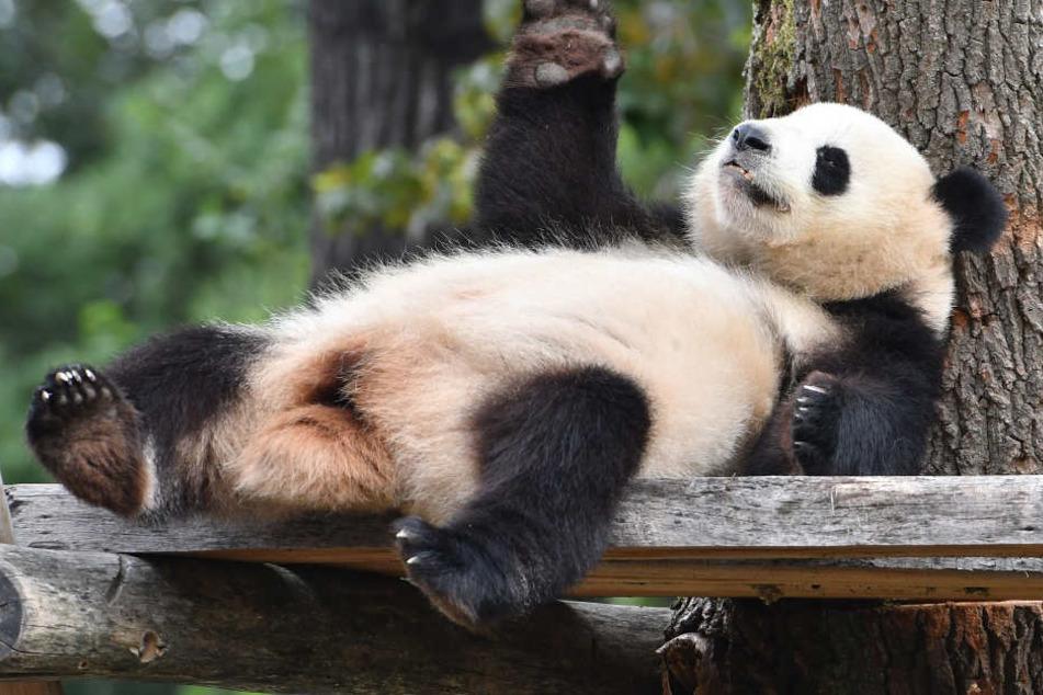 Meng Meng winkt ihren Besuchern im Berliner Zoo zu.