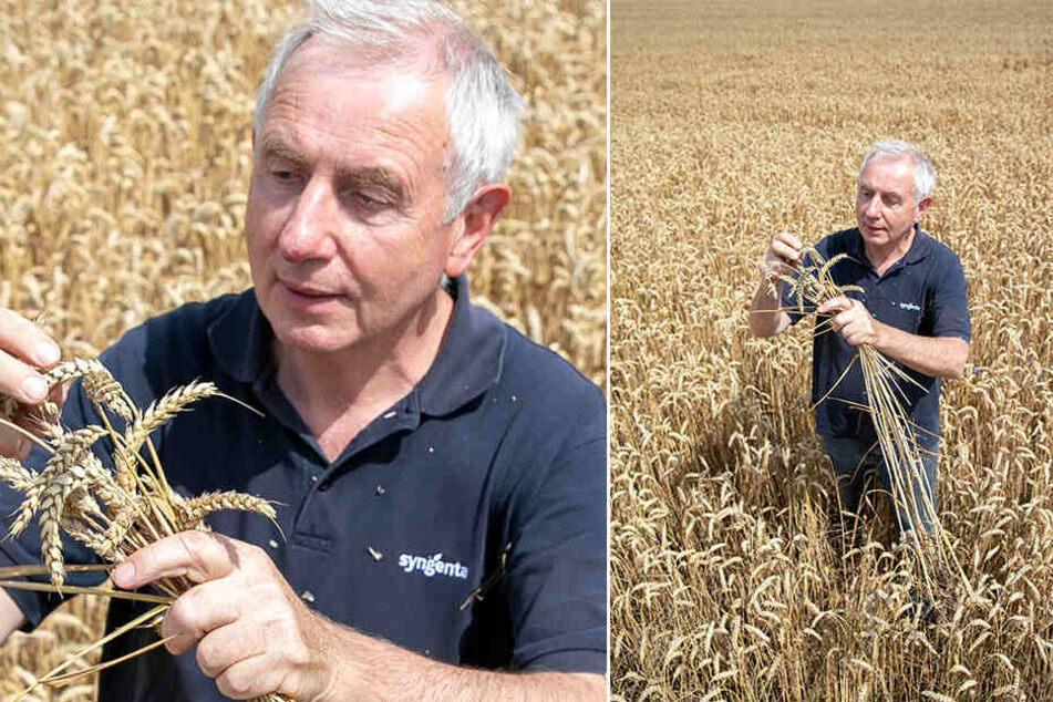 Gerhard Förster (64), Chef einer Agrargenossenschaft im Landkreis Meißen, begutachtet den diesjährigen Weizen. Die Ernte fällt wohl recht bescheiden aus.