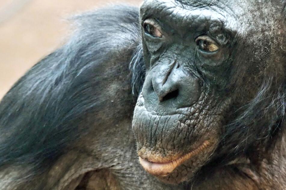 Aus diesem Grund ist Bonobo-Dame Margrit etwas ganz Besonderes