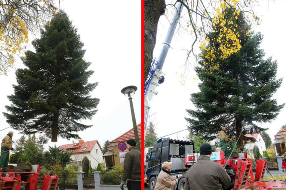 Eine etwa 17 Meter hohe Nordmanntanne hängt in der Prignitzstraße im Berliner Bezirk Biesdorf am Haken eines Krans und wird auf einen Tieflader verladen.