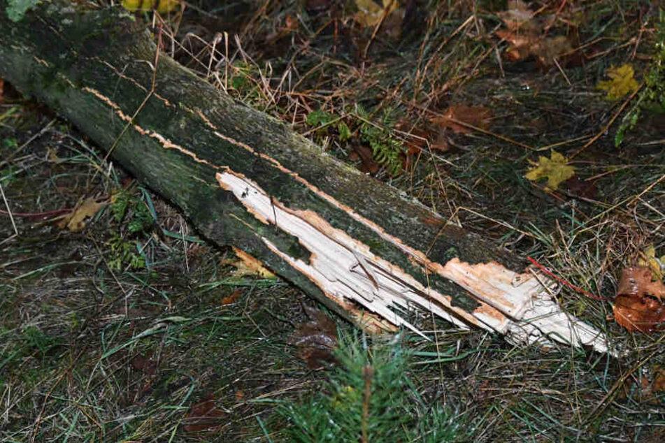 Der Baum gegen den der Wagen schepperte, wurde durch die Wucht des Aufpralls gekappt.