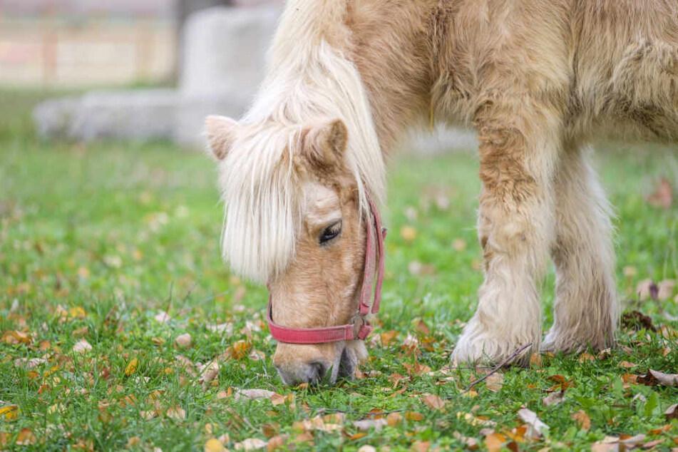 Das Pony wurde bei dem Unfall so schwer verletzt, dass es noch vor Ort verstarb. (Symbolbild)