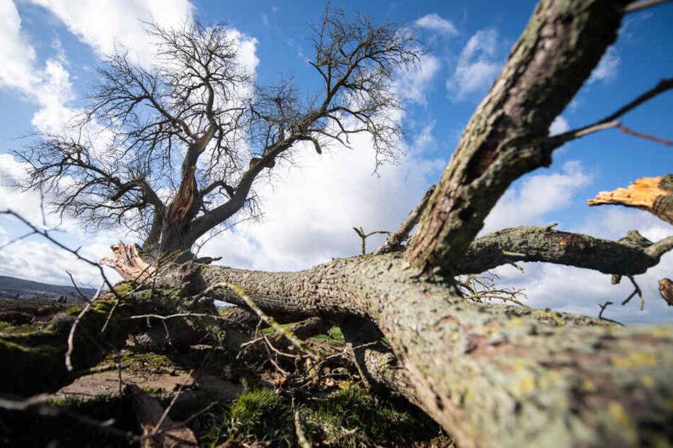 """""""Sabine"""" hatte reihenweise Bäume entwurzelt."""