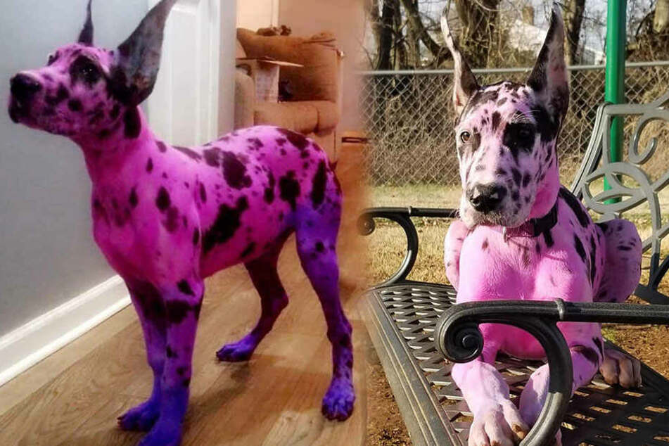 Der Farbstoff sei sicher und würde dem Hund nicht schaden, versichert die Besitzerin.