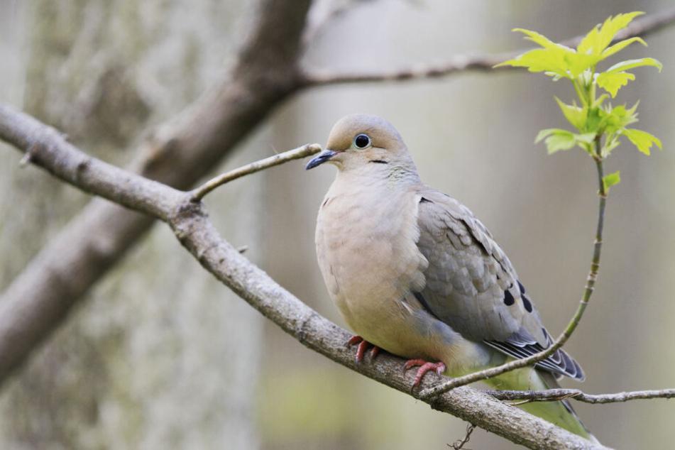 Eine Taube sitzt auf einem Ast (Symbolbild).