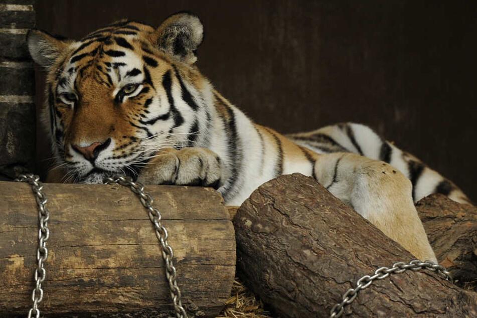 Tigerin Hanya (15) musste aufgrund einer Krankheit eingeschläfert werden (Archivbild).