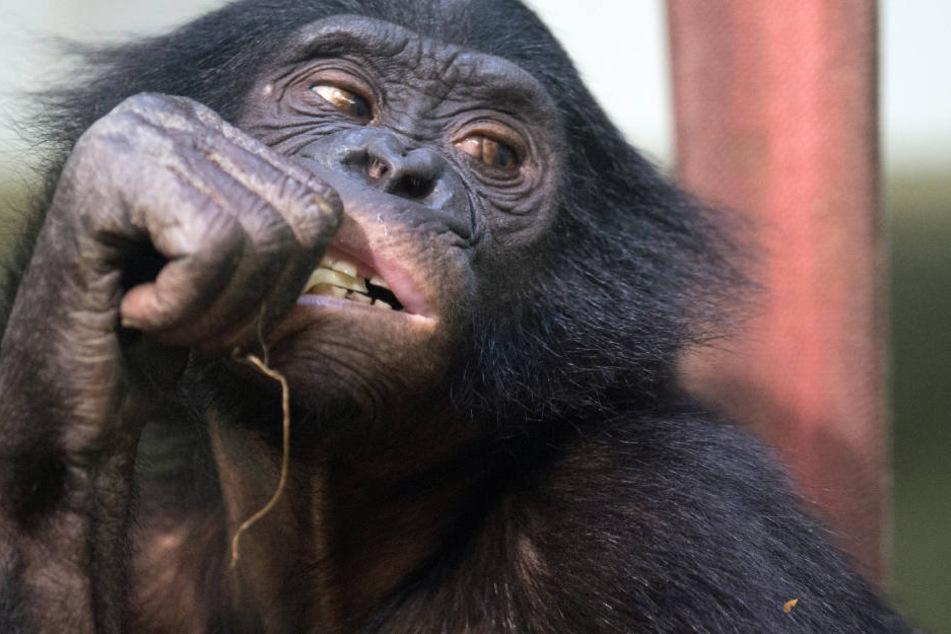 """Sind Schimpansen Dinge oder """"Persönlichkeiten""""? Darum geht es dem Tierschützer Wise seit Jahren! Und er zieht vor Gericht."""