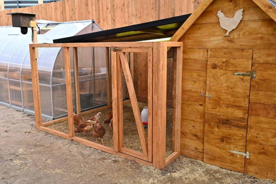 Sieben Hühner sollen für die Bewohner Eier legen.