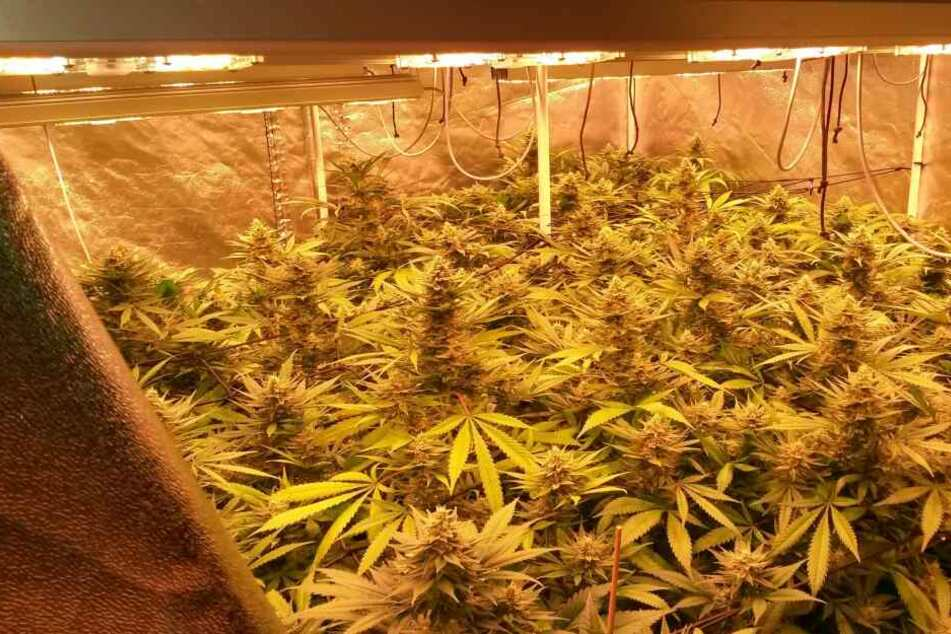 In einem Haus in Rheinbach wurden etwa 500 Marihuana-Pflanzen sichergestellt.