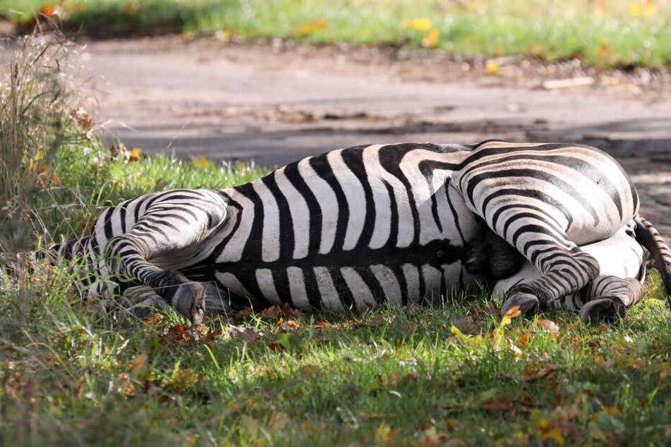 """Nach Schuss auf Zirkus-Zebra Pumba: Pfleger spricht von """"eiskaltem Mord""""!"""