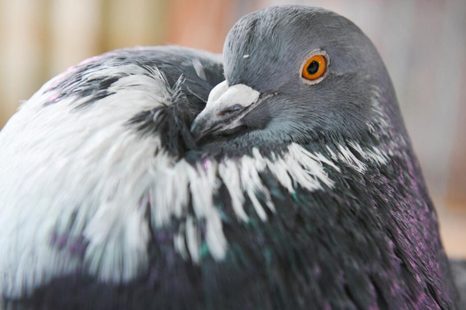 Unfassbar, was ein Tierarzt in einer verletzten Taube findet