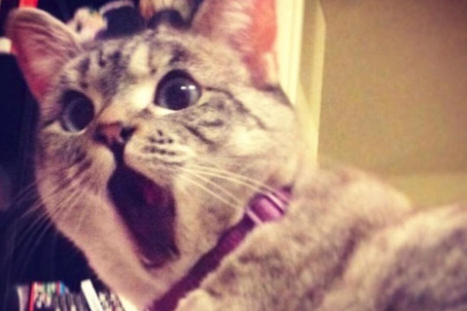 Die amerikanische Katze Nala Cat ist bei Instagram ein Superstar!