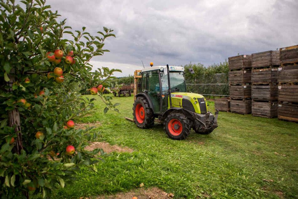 Bei der Sorte Elstar geht bereits die Ernte los. 2017 wird ein mageres Apfeljahr, die Preise könnten durchaus steigen.